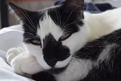 Smidgen III (pilot.henry) Tags: cat animal black white sleepy nose cute fur whiskers paws eyes green
