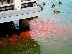 DUCKS AND FISH AT THE PARK (Visual Images1) Tags: ducks fish water thecrossings pond colonie newyork