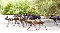 on the move (JuttaMK) Tags: wild dogs painted wolves samburu kenya mauekay 2016