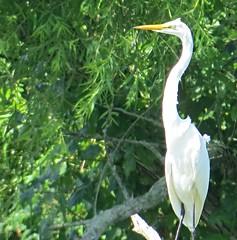 Great Egret (Linda in Namibia) Tags: uppervillevirginia birds