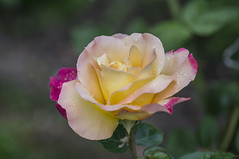 Rose (milance1965) Tags: macro rose sony sonya55