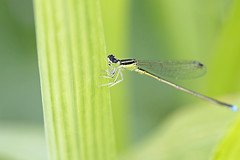 Damselfly (Johnnie Shene Photography(Thanks, 1Million+ Views)) Tags: damselfly dragonfly fly insect bug macro animal closeup magnified perching resting awe wonder fulllength adjustment nature natural wild wildlife livingorganism tranquility tranquilscene nopeople foregroundfocus depthoffield diagonalview tilt photography horizontal outdoor colourimage fragility freshness leaf leaves animalandplant interesting canon eos600d rebelt3i kissx5 tamron 90mm f28 11 lens      shene81