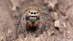 Phidippus princeps jumping spider (Tibor Nagy) Tags: portrait macro closeup spider eyes arachnid flash jumper softbox diffuser diffused jumpingspider arthropod salticid phidippus palps salticidae mandibles setae chelicerae princeps