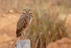 Angry Bird : Burrowing Owl (Athene cunicularia) (berniedup) Tags: owl pantanal athenecunicularia burrowingowl angrybird pocon transpantaneira taxonomy:binomial=athenecunicularia