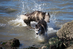 Koji Playing in the Water (ddouangc) Tags: park dog dogs point outdoors husky huskies isabel siberian