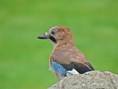 Jay (Deepgreen2009) Tags: home garden jay wildlife watching crow corvid alert plumage