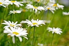 Sunny Sides Up (nebulous 1) Tags: seattle flowers white flower green nature yellow flora nikon seattleflora nebulous1 sunnysidesup