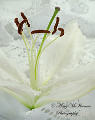 Lily and Lace (Mary McIlvenna Photography) Tags: floralart macro flora lily white flower