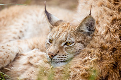 Family resting time (nemi1968) Tags: canon canon5dmarkiii ef100400mmf4556lisiiusm eurasianlynx gaupe irma langedrag lynx markiii norway animal animals cat catfamily closeup iris portrait siblings sisters specanimal ngc