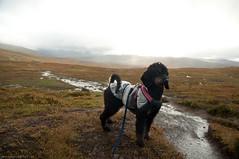 Jmtlandstriangeln (Niightwalker) Tags: jmtlandstriangeln sweden september autumn summer fall nature trail dog dogs mountain cloud clouds rain cold green poodle bulldog labrador sheltie shetlandsheepdog nikon d90 tamron