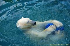 ijsberen_24 (Arnold Beettjer) Tags: wildlands emmen dierenpark dierentuin dierenparkemmen ijsbeer ijsberen polarbear
