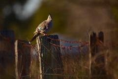 On the fence (Luke6876) Tags: crestedpigeon pigeon bird animal wildlife australianwildlife fence depthoffield