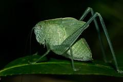 Katydid (Tyler Newman) Tags: macro insect arkansas katydid a6000