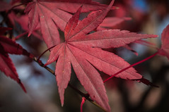 337/365 acer palmatum (sullivanj487) Tags: 365 nikon d5000 red leaf leaves acer aplmatum maple color texture