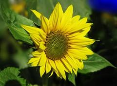 Sunflower (ToniFernando) Tags: outdoor flower plant petal macro sunflower depthoffield serene