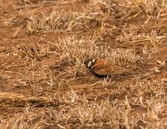 Chestnut-backed Sparrow-Lark_3645-20151015 (C&P_Pics) Tags: cac chestnetbackedsparrowlark kruger sparrowlarks satara skukuzacamp southafrica2015 krugerpark mpumalanga southafrica za