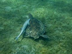 IMG_3714 (adrienweckel) Tags: adrienweckel cheloniamydas echeneisnaucrates poissons rémoracommun rémorarayé tortueverte