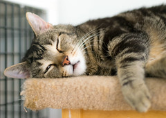 Zonked Out (EnglishSkylarking) Tags: cat cats kitten kittens animal animals shelter rescue pet pets chicago illinois treehousehumanesociety kitty portrait portraiture 50mmf18d fur furry d3300
