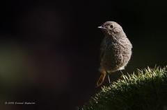 Redstart (Esmaeel Bagherian) Tags: redstart birdsphotography birds birdwatching birdsofiran wildlife wildlifephotography esmaeelbagherian tamron150600 tamron nikon nikond7000 2016 1395        150600mm