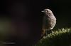 Redstart (Esmaeel Bagherian) Tags: redstart birdsphotography birds birdwatching birdsofiran wildlife wildlifephotography esmaeelbagherian tamron150600 tamron nikon nikond7000 2016 1395 اسماعیلباقریان پرندگان پرندگانایران پرنده پرندهنگری پرندگانهزارمسجد تامرون 150600mm