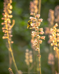 Bees dancing in the golden light (farflungistan) Tags: botanicalgarden canon7d hortusbotanicusamsterdam summer2016 amsterdam igersamstedam instameet photowalk