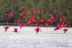 Scarlet Ibises (sbuckinghamnj) Tags: scarletibis caroniswamp trinidad