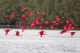 Scarlet Ibises