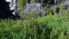 Wild-flowers (charlottehathawayfeatherstone) Tags: wildflowers kakabeka falls ontario canada outdoor plant flower