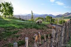 Lenta masticacin / Slow chewing (pepelara56) Tags: ovejas montaas corral atardecer patagonia argentina nikon nikor