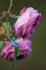 ckuchem-5558 (christine_kuchem) Tags: blten bltenbltter nahaufnahme regen regentropfen rose tropfen wasser wassertropfen romantisch rosa