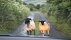 Irish Traffic Jam (Gunn Shots (Mark Gunn)) Tags: trafficjam sheep ewe ram donegal malinhead
