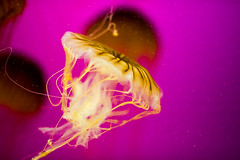 The Safest Place You'll Ever Find (Thomas Hawk) Tags: america chicago cnidaria cookcounty illinois johngsheddaquarium museumcampuschicago sheddaquarium usa unitedstates unitedstatesofamerica aquarium jellies jellyfish pink fav10 fav25