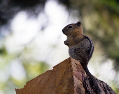 Golden-mantled Ground Squirrel (Dwine76) Tags: oregon mammal wildlife rodent squirrel facialstripe goldenmantledgroundsquirrel callospermophiluslateralis