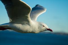 IMG_6268-2 (gsreejith) Tags: silvergull inflight birds birdinflight blue sky