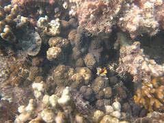20150702--IMG_1105.jpg (r.mcminds) Tags: xvii hexacorallian scleractinian metazoan needsspeciesid pacificocean australia idbyjoepollock cnidaria oldsettlementbay robust anthozoan indopacific cyphastreasp cyp2 photobyjoepollock lordhoweisland taxonomyuncertain cyphastrea animal cnidarian hardcoral merulinidae stonycoral