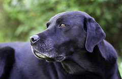 FA 77mm Limited Test Shot (Chris Johnston Photography) Tags: labrador buddy pets blacklab 77mm limited pentax k1 pentaxk1