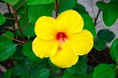 Yellow Hibiscus (AMaleki) Tags: 2016 flower hibiscus nikond7000 red yellow
