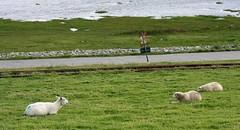 Sheep III (tillwe) Tags: northsea sheep dagebll dike lorry tillwe 201608