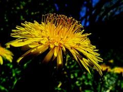 pissenlit (domiloui) Tags: flowers france macro nature flickr jardin lorraine campagne couleur plantes nuances cooliris abaucourt canceledgroup