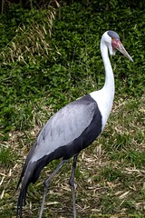 Wattled Crane (Chris Denny/dennyc69) Tags: birds cranes waterfowl louisvillezoo