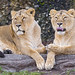 Two lionesses resting together