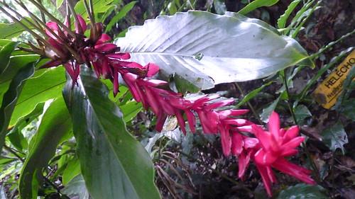 Rio Camuy caves plants  (4)