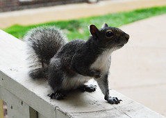 Little Visitor (MightySnail) Tags: cute closeup grey squirrel curious brazen bold inquisitive greysquirrel