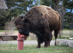 Bison  scratching (adamnsinger) Tags: road trip hydrant fire buffalo jackson wyoming bison scratching 2015