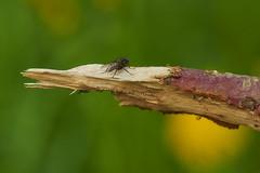 Sur une branche (Meinrad Prisset) Tags: macro nature schweiz switzerland nikon suisse nikkor fort insecte mouche d800 nikonlens macrophotographie swizzera cantondefribourg biodiversit nikond800 vuarmarens afsmicronikkor105mmf28edvr