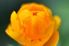 Globe flower (CCphotoworks) Tags: orange flower macro spring bokeh may perennial macroflowers springflower orangeflowers mayflowers globeflower flowercloseups perennialflower unlimitdphotos may2015