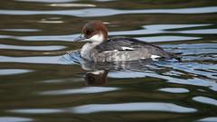 Female Smew (saxman1597) Tags: england reflection nature water beauty duck wildlife feathers portrair nikond3200 smew washingtonwildfowlcentre femalesmew sigma150500apohsmos