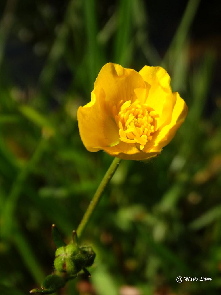 Águas Frias (Chaves) ... flor campestre