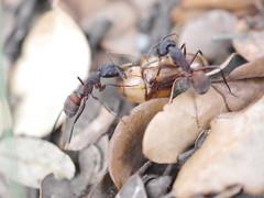 P1030916 (Dr Zoidberg) Tags: hormigas escarabajo zuiko50mmmacro