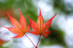Just the two of us - maple leaves (JPShen) Tags: leaves leaf maple bokeh justthetwoofus